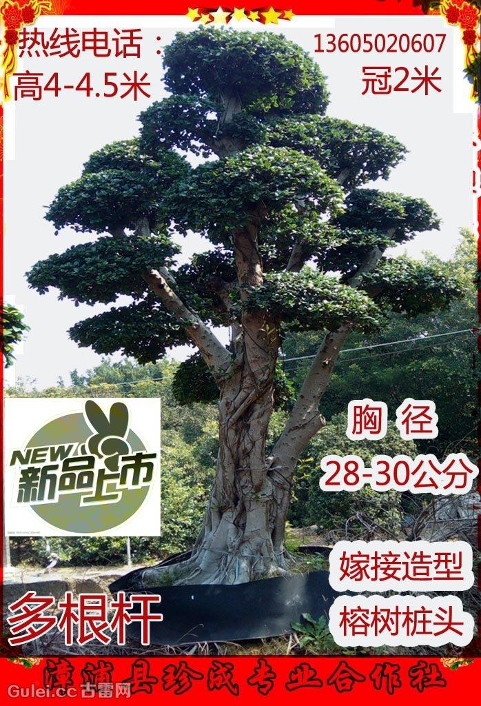 盆景 盆栽 树 松 松树 植物 698_1024 竖版 竖屏